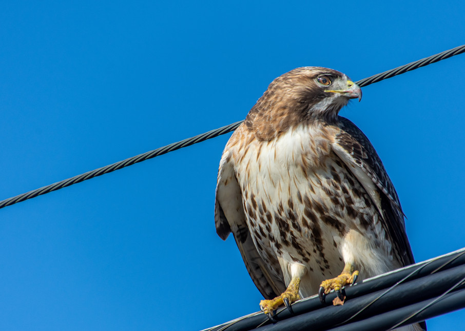 Red Tailed Hawk Photography Art | The Colors of Chatham