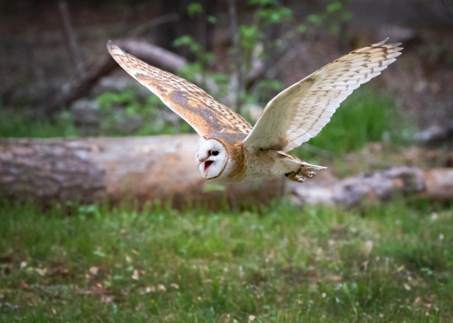 Barn Owl In Flight Photography Art | Matt Cuda Nature Photography