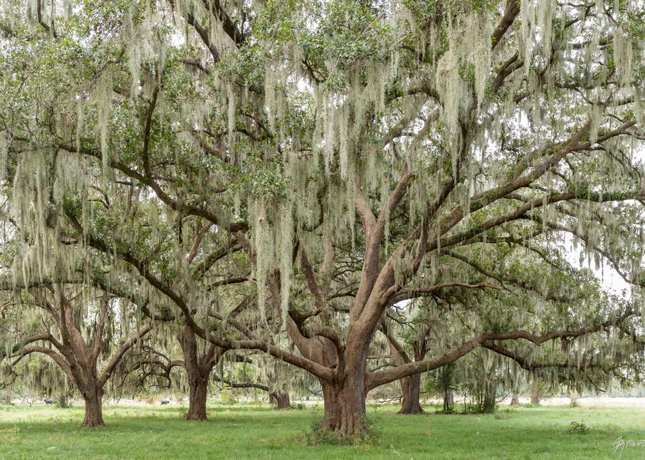 Live Oak Trees & Spanish Moss Pano, Damon, Texas