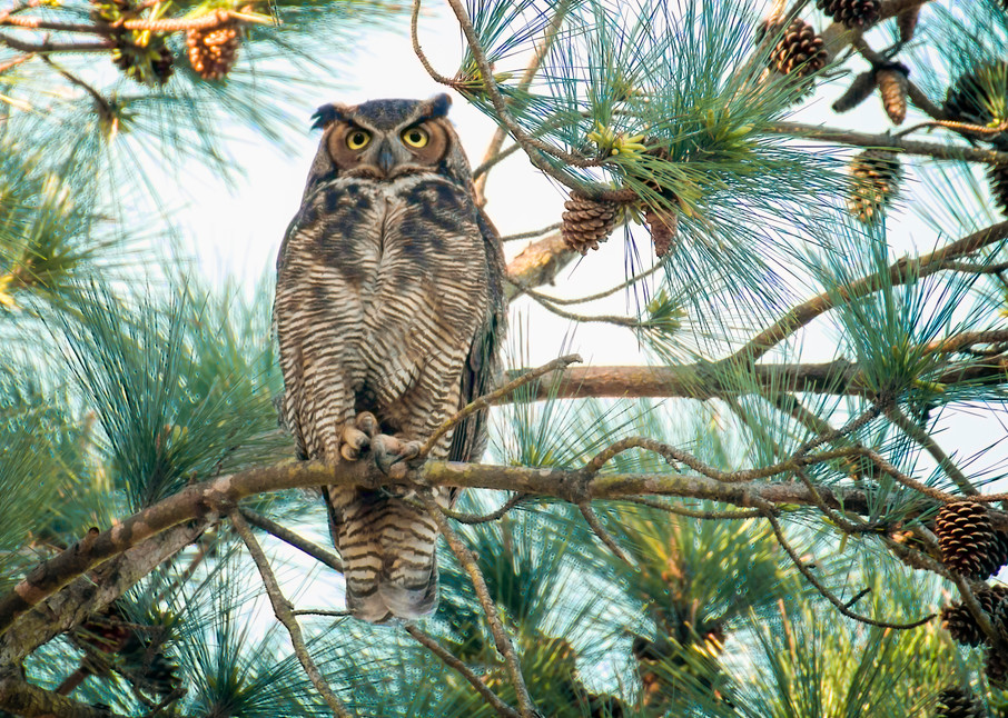 Great Horned Owl on a Pine Branch