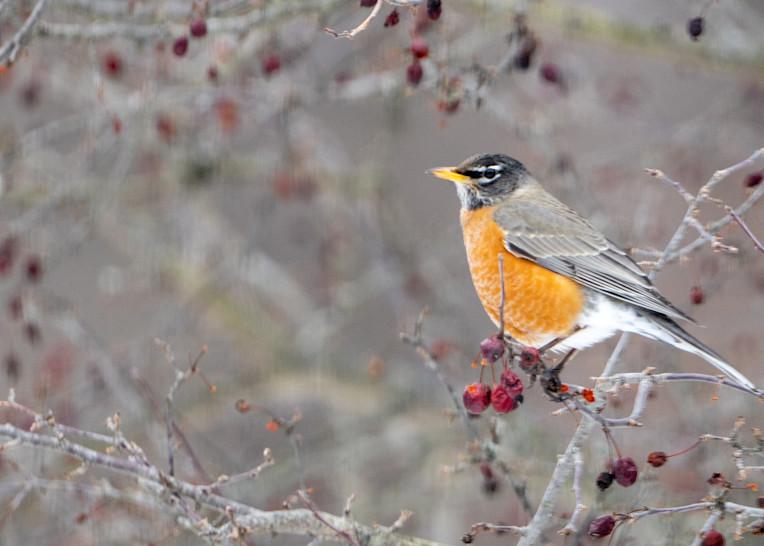 American Robin Early Spring, Tepple Creek, Oakland County, Michigan
