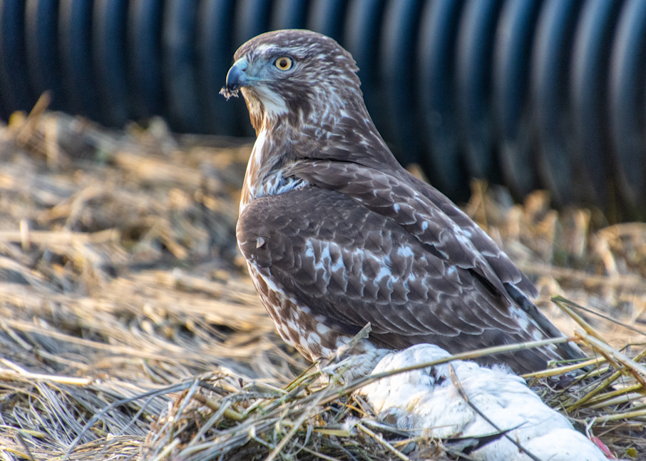 A Cooper's Hawk On A Merganser Photography Art | The Colors of Chatham