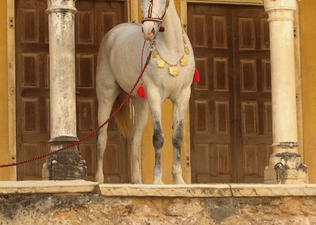 Decorated Gray Marwari Horse Print