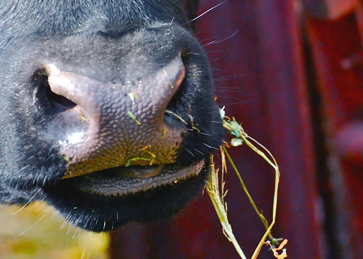 Munching Cow Nose Print