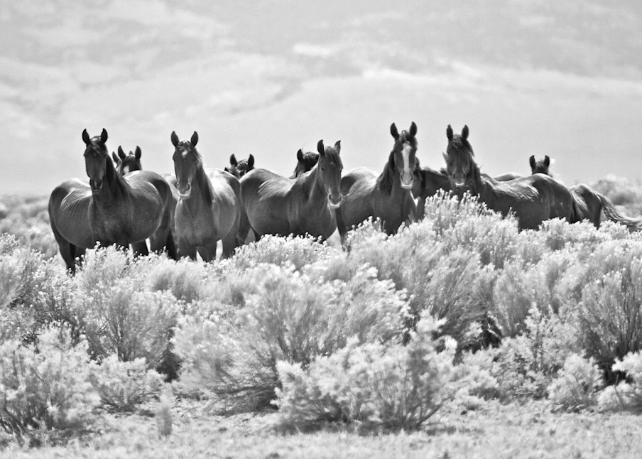 Wild horse herd in black and white print
