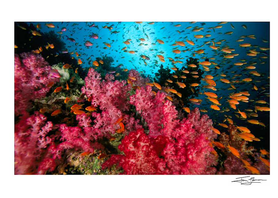 Anthias fish and Colors of the Fiji Reef.