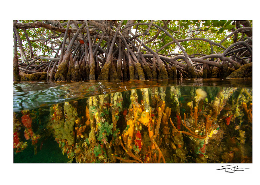 Photo of corals, tunicates, and sponges Under the Mangroves of Belize.
