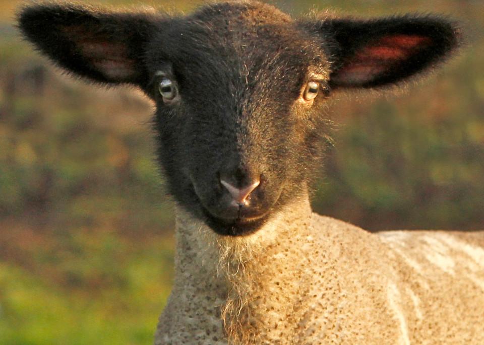 Baby lamb print