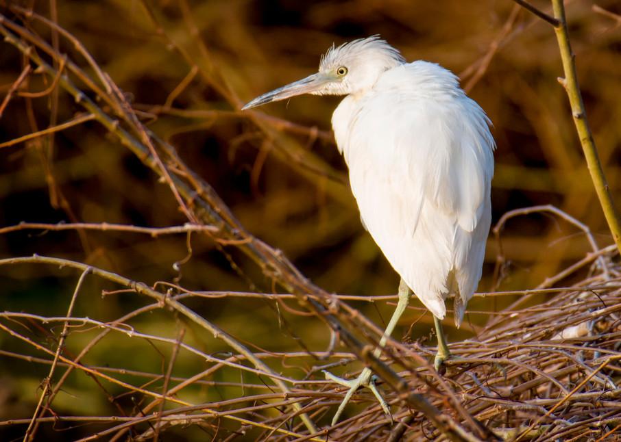 Juvenile Little Blue Heron on Edge of Pond