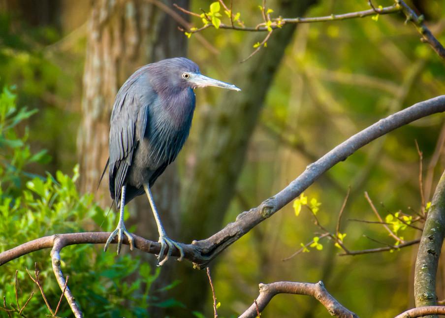 Litte Blue Heron in Tree on Edge of Pond