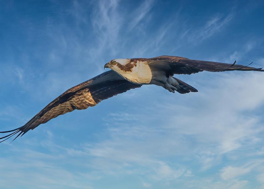 Osprey Soars above Lake Mercer