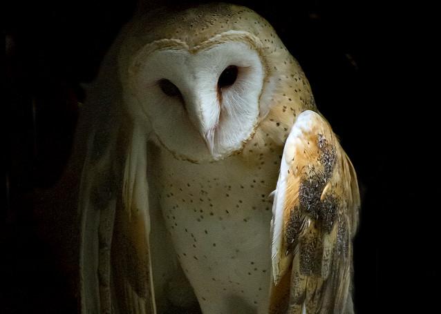 Angelic Owl  Photography Art   Great Wildlife Photos, LLC