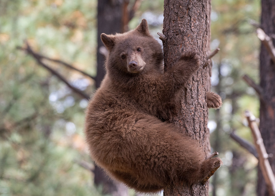 Black Bear Climbing  Photography Art | Great Wildlife Photos, LLC