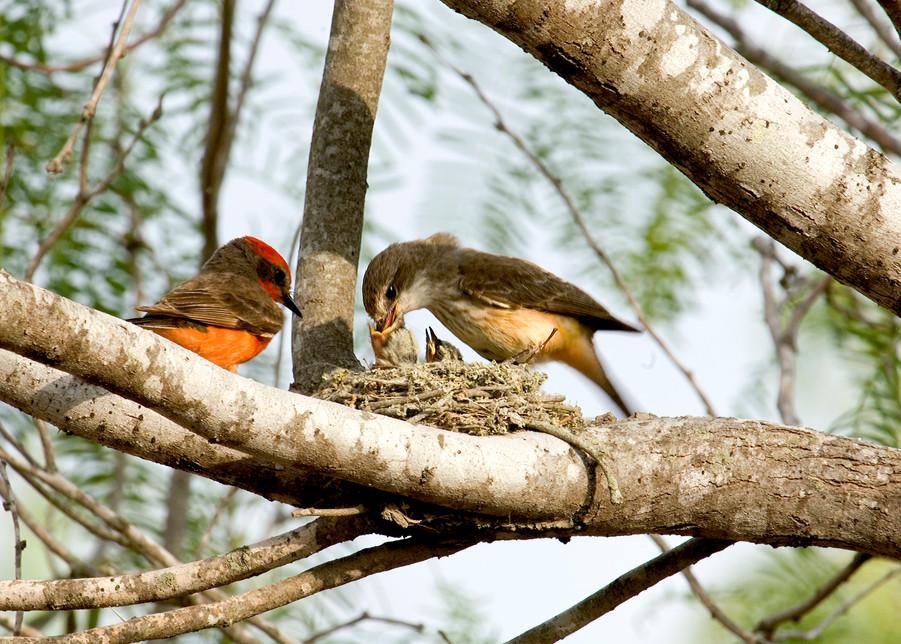Vermillion Flycatchers Feeding Photography Art   Great Wildlife Photos, LLC
