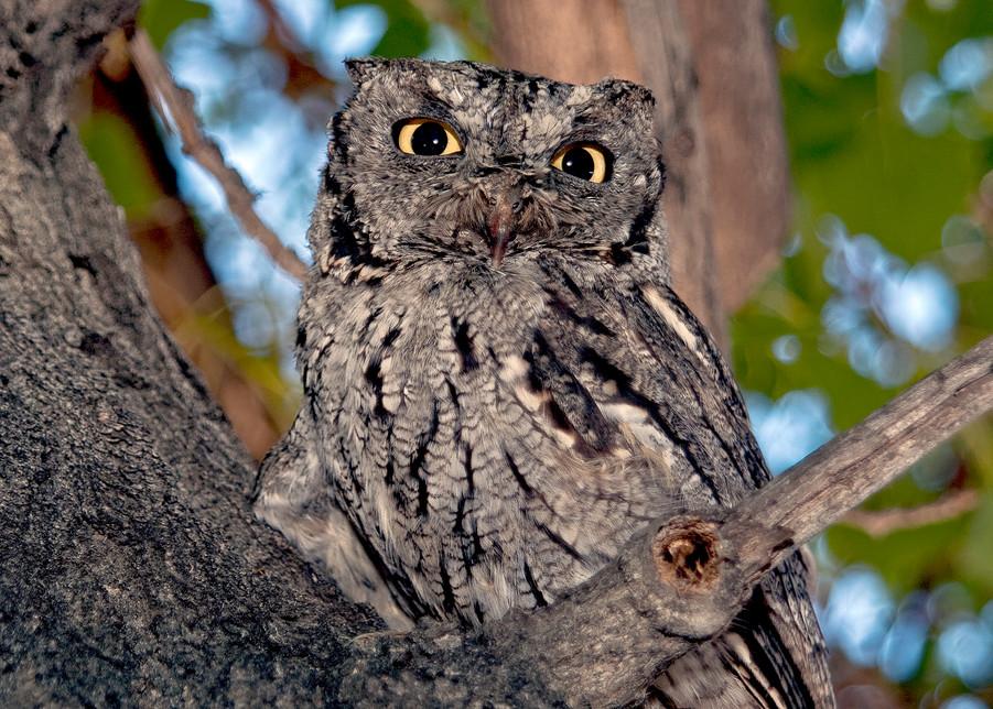 Screech Owl Watching  Photography Art | Great Wildlife Photos, LLC