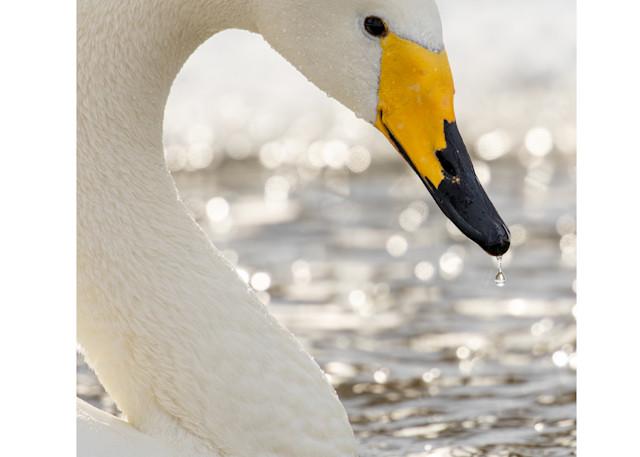 Winter Morning   Whooper Swan Photography Art | Tim Laman