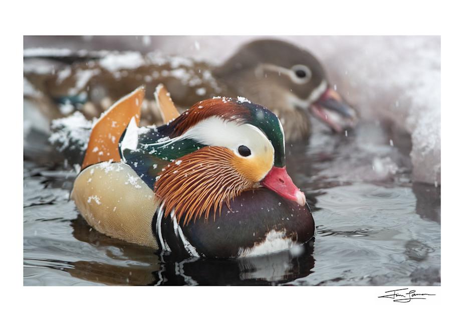Mandarin Ducks In The Snow Photography Art | Tim Laman Photo