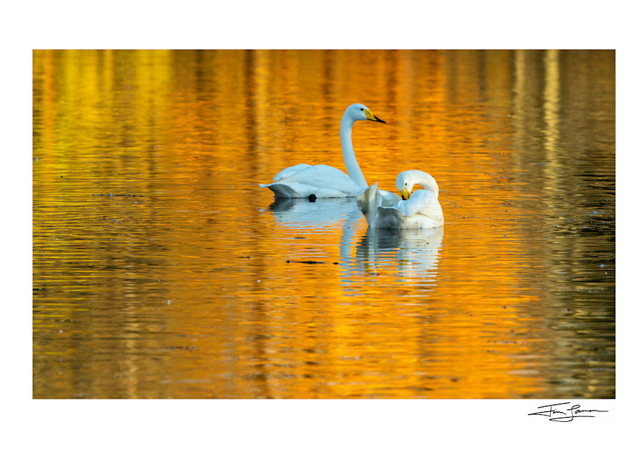 Golden Relfctions   Whooper Swans Photography Art | Tim Laman