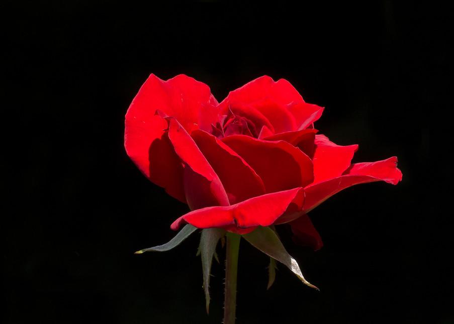 Red Rose In Evening Sun Photography Art   Great Wildlife Photos, LLC