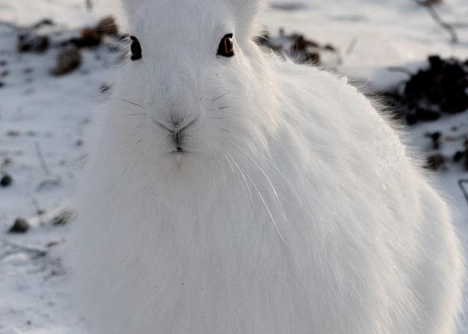 Arctic Hare Looking Photography Art | Great Wildlife Photos, LLC