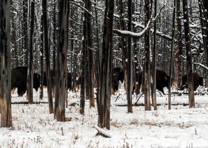 Bison Are The Shadows Photography Art   Great Wildlife Photos, LLC