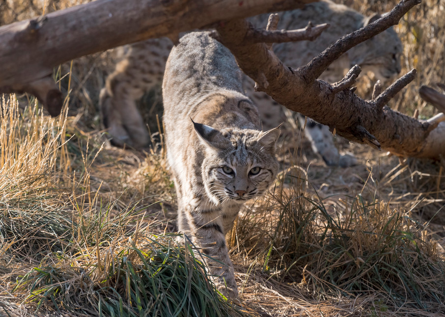 Bobcat Approaching Photography Art | Great Wildlife Photos, LLC