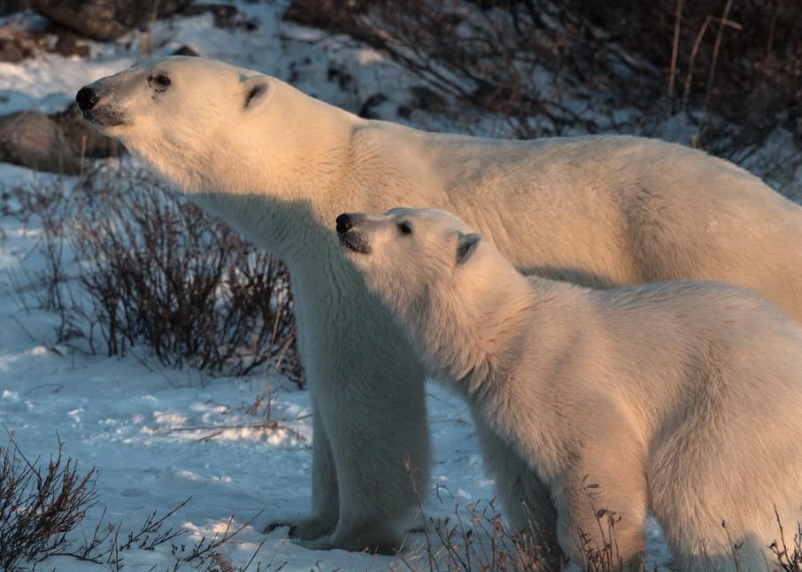 Polar Bear Mom And Cub Closeup Photography Art | Great Wildlife Photos, LLC