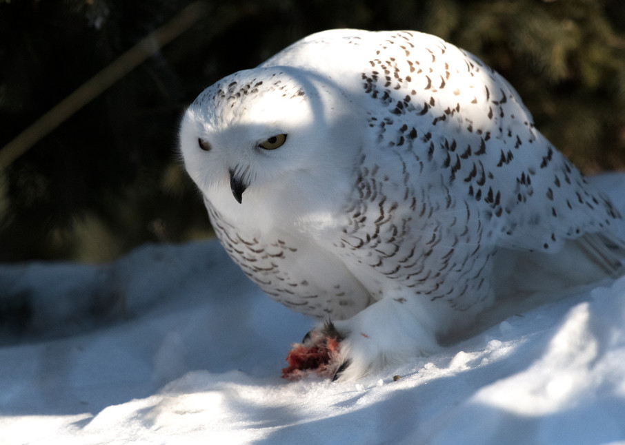 Snowy Owl Eating Photography Art   Great Wildlife Photos, LLC