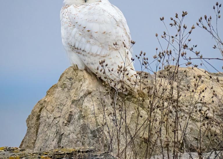 Snowy Owl Farewell