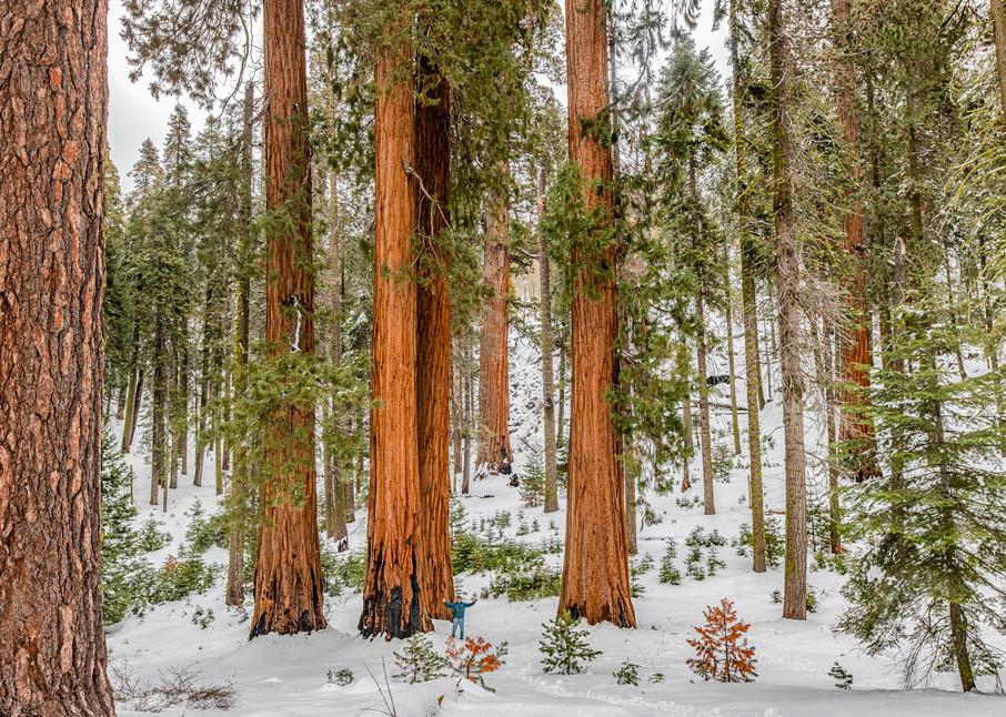 Sequoia Tree Winter Art   Michael Blanchard Inspirational Photography - Crossroads Gallery