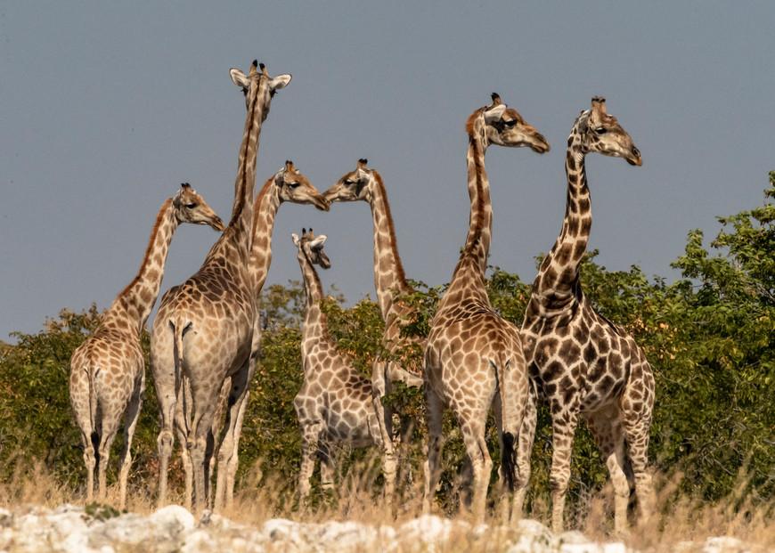 Giraffe Tower Photography Art   Great Wildlife Photos, LLC