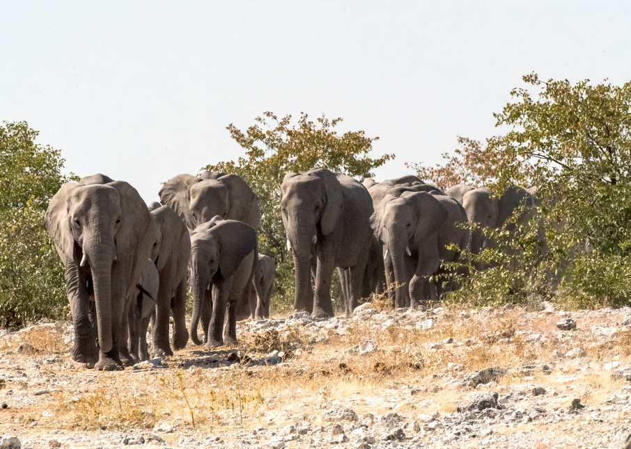 Elephant Family Traveling To Water Photography Art   Great Wildlife Photos, LLC
