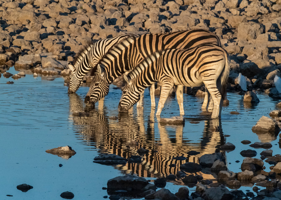 Zebras At Dawn  Photography Art   Great Wildlife Photos, LLC