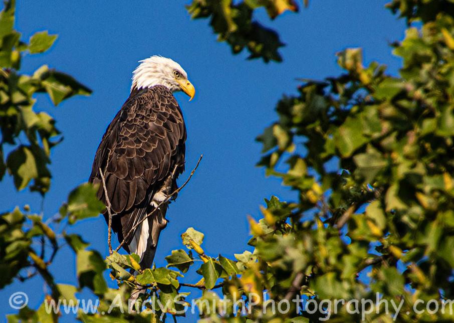 Bald Eagle At Swartswoood