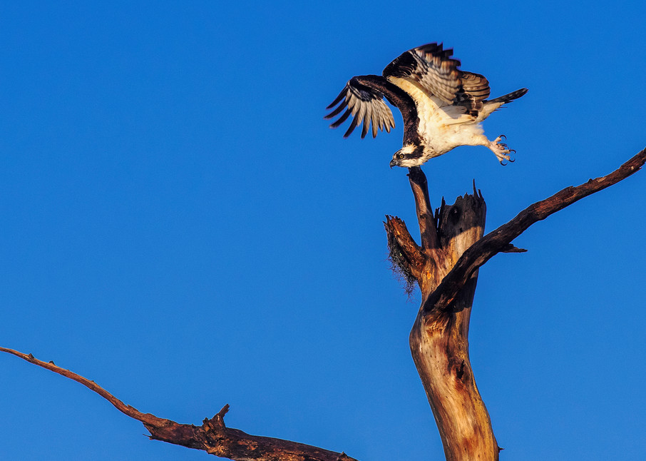Launched - Osprey fine-art photography prints