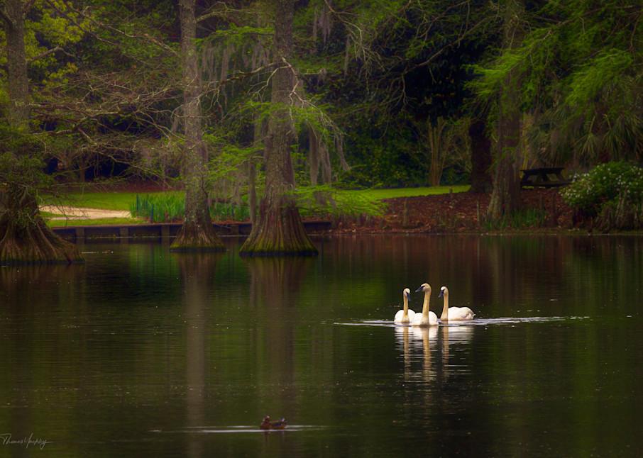 Swan Trio Photography Art   Thomas Yackley Fine Art Photography