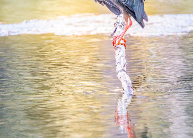 Green Heron Reflection Photography Art   Thomas Yackley Fine Art Photography