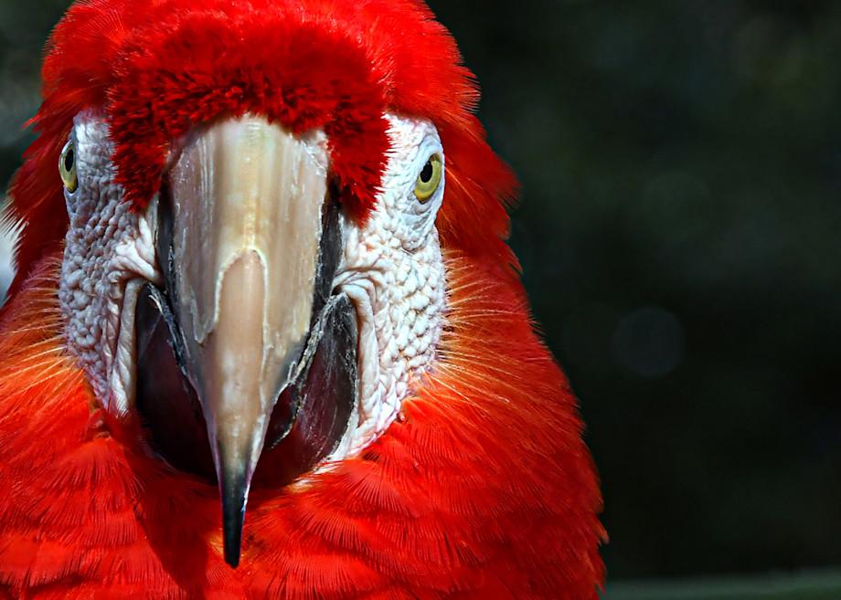 Parrot   Red Art | Frasier Photography