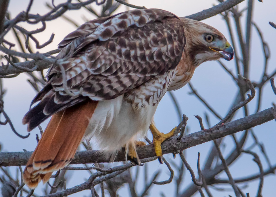 South Beach Red Tail Hawk Art | Michael Blanchard Inspirational Photography - Crossroads Gallery