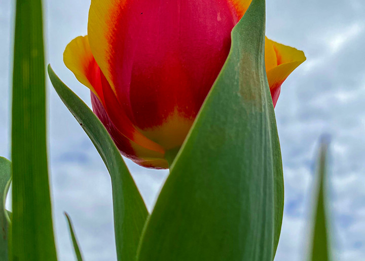 Red and yellow tulip photo taken from below.