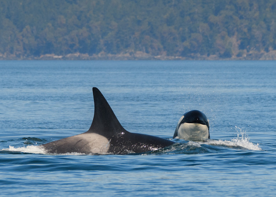 Bigg's Killer Whale T90 B And Sibling April 2021 Photo Art | Friday Harbor Atelier