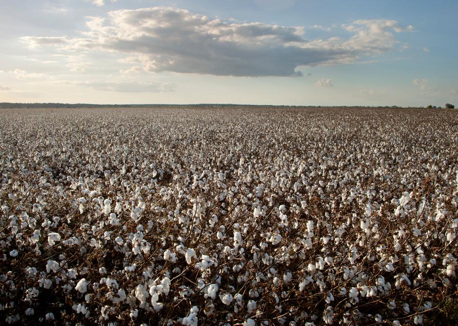 Cotton Field Near Snook, Texas Photography Art   Rick Gardner Photography