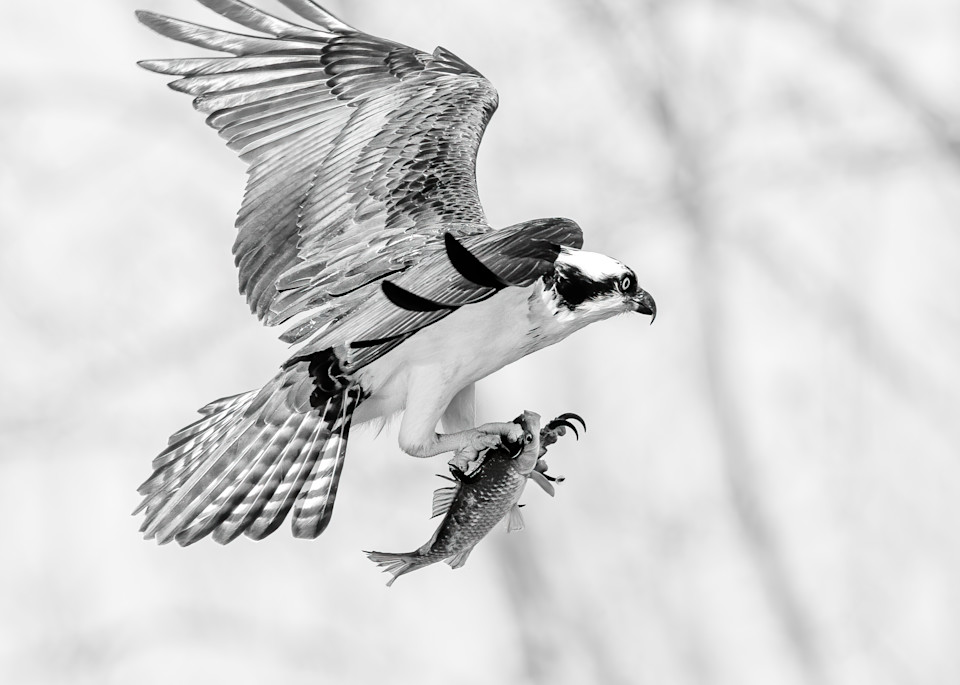 Osprey Landing with Fish - in Black and White