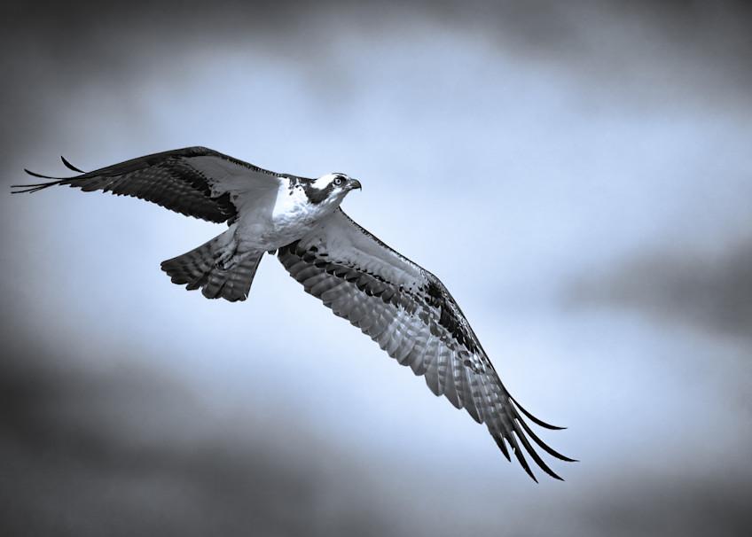 Osprey in Flight B&W Tinted