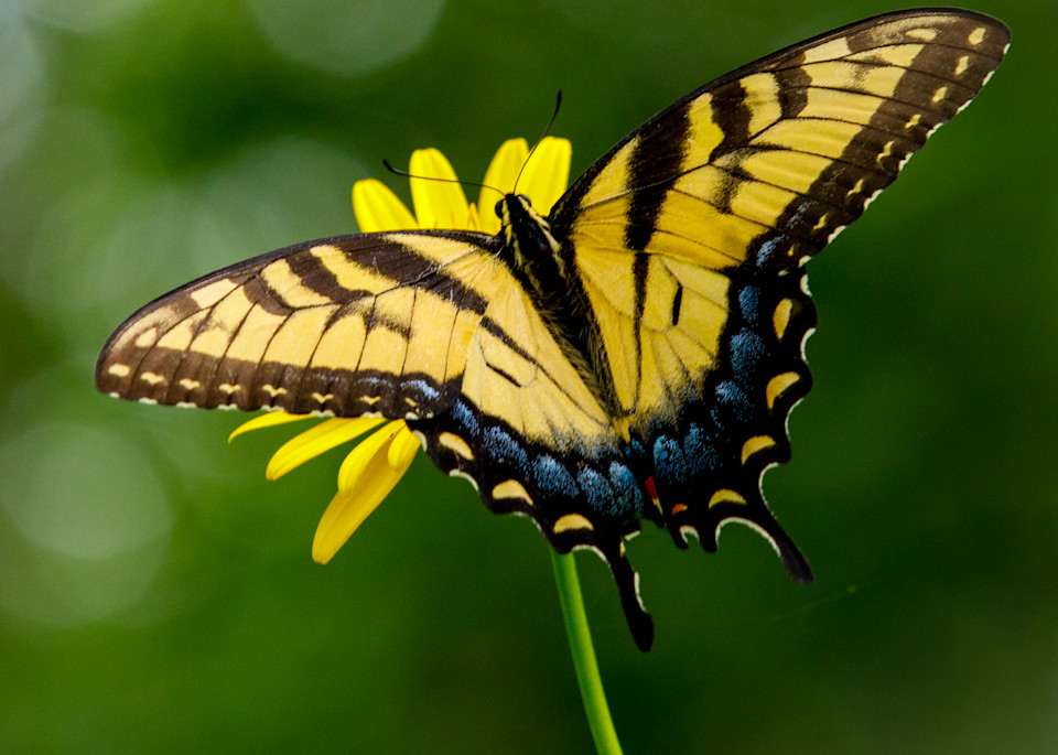Tiger Swallowtail Wings Spread - Square Crop