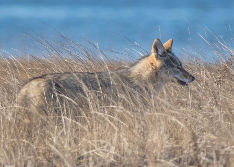 Coyote In The Dunes Copy Art | Sarah E. Devlin Photography