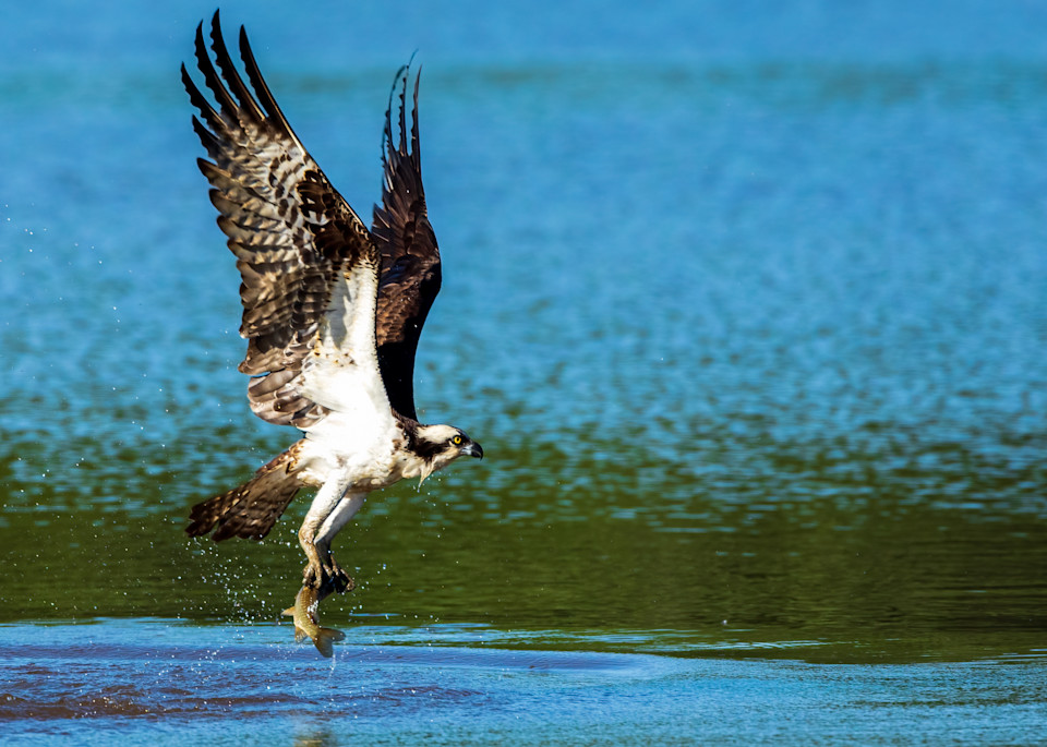 Osprey Catches Breakfast