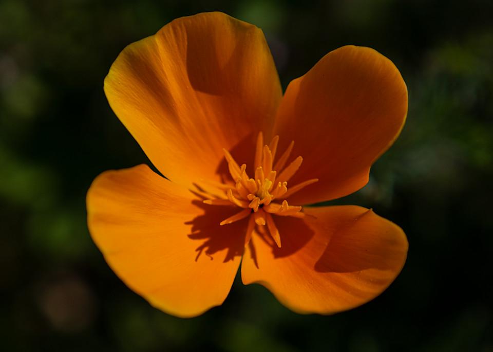 California Poppy Photography Art | FocusPro Services, Inc.