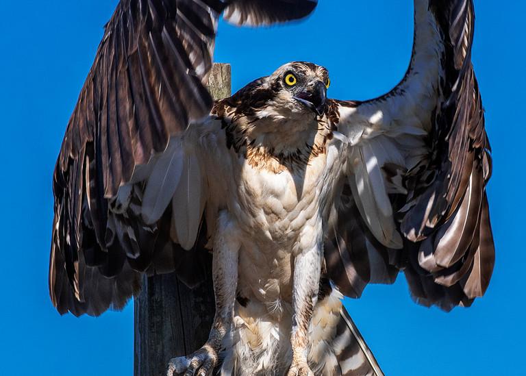 Osprey Embrace - Raptor fine-art photography prints