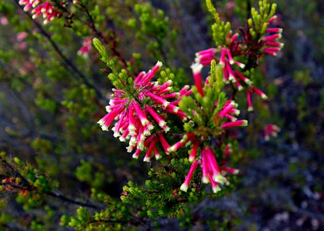 Pink Heath Photography Art | FocusPro Services, Inc.